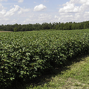 Weed-free cotton field