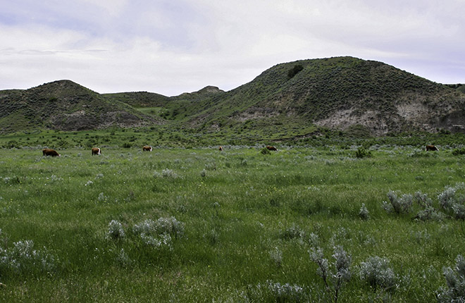 Hereford cattle grazing on a Montana range