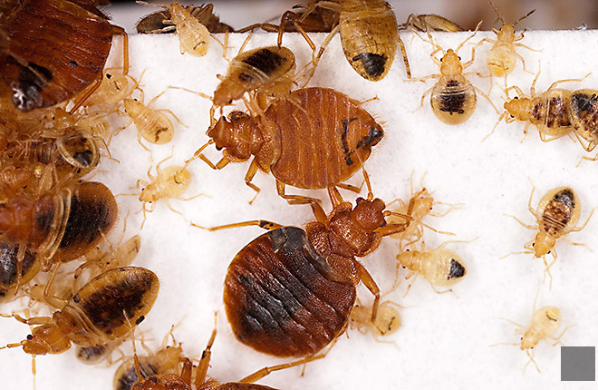 Adult and immature bed bugs