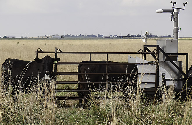 Cows at a system that measures their methane emissions