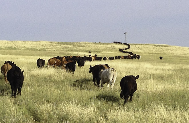 Herd of cattle walking across a plain