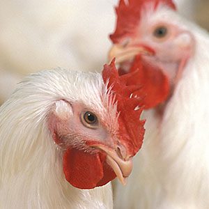 Close-up of two chickens