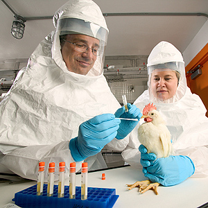 Scientists wearing biosafety suits taking a throat swab from a chicken