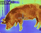 Thermal image of a pig