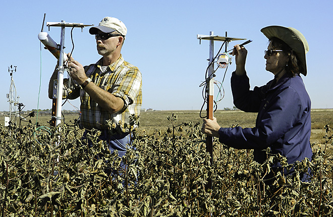 Two ARS scientists adjust wireless infrared thermometers in cotton field