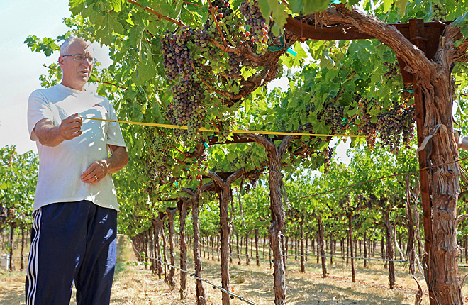 Scientist measures a grapevine canopy