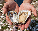 Hands holding an open oyster