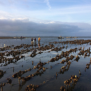 Scientists assess oyster habitat in Humboldt Bay