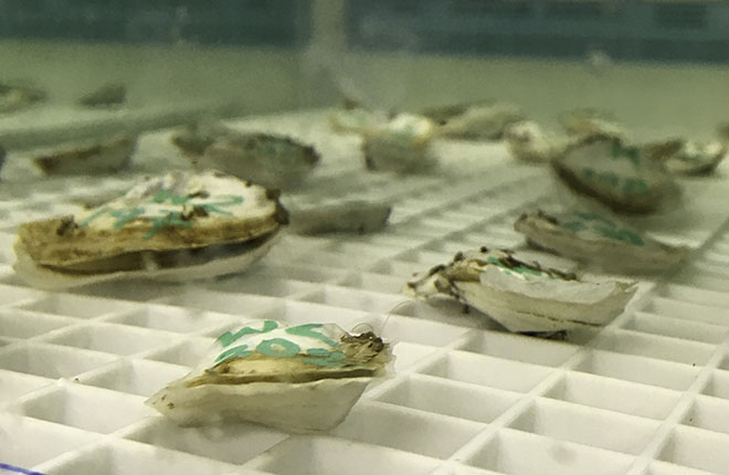 Oysters in tank opening their shells to eat