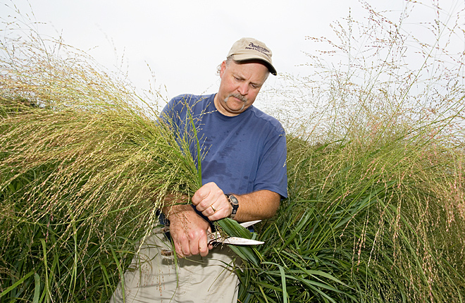 Geneticist harvesting seed from switchgrass