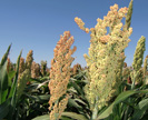 Sorghum growing in a breeder's field