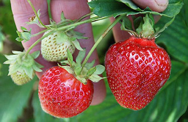 Sweet Sunrise strawberry.