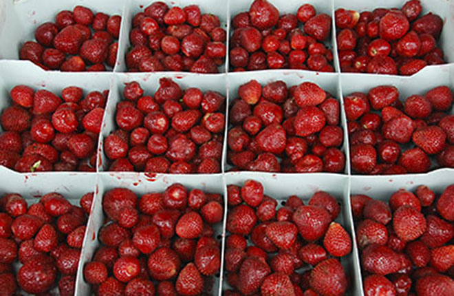 Harvested Sweet Sunrise strawberries.