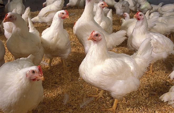 courses poultry management