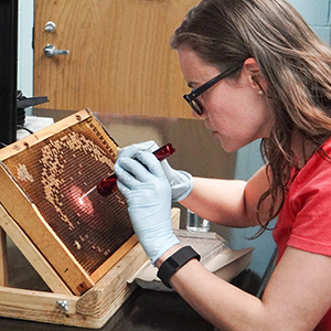 ARS technician Lucy Snyder selects bee larvae from honeycombs.
