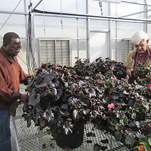 ARS geneticists review begonias.