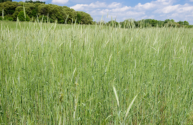 Rye cover crop.