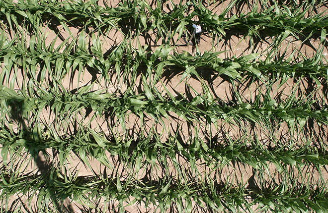 Water-stressed corn crop.