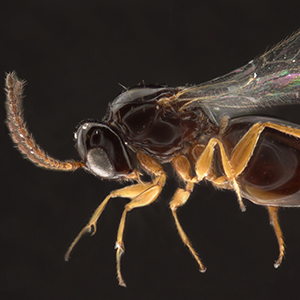 Microscopic image, approximately 60x magnification, of a Angustocorpa wasp.