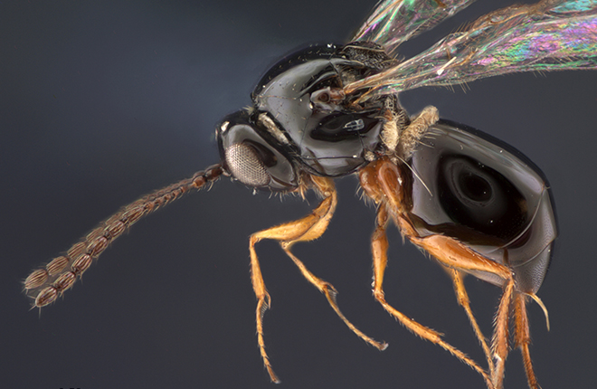 Microscopic image, approximately 60x magnification, of a Didyctium wasp.