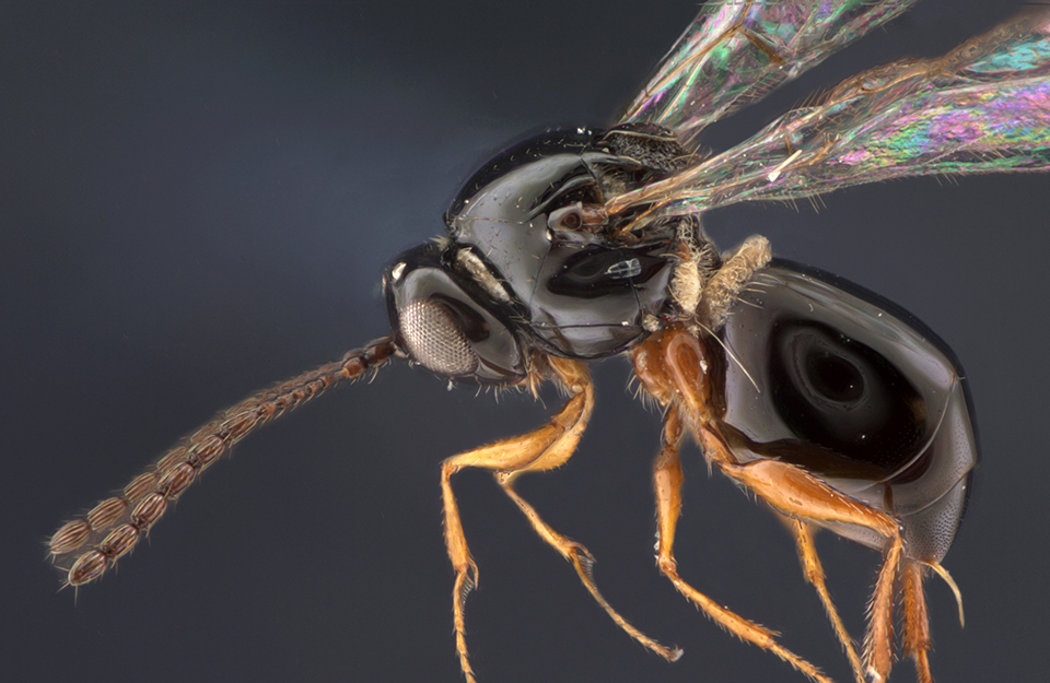 Microscopic image of a Didyctium wasp.