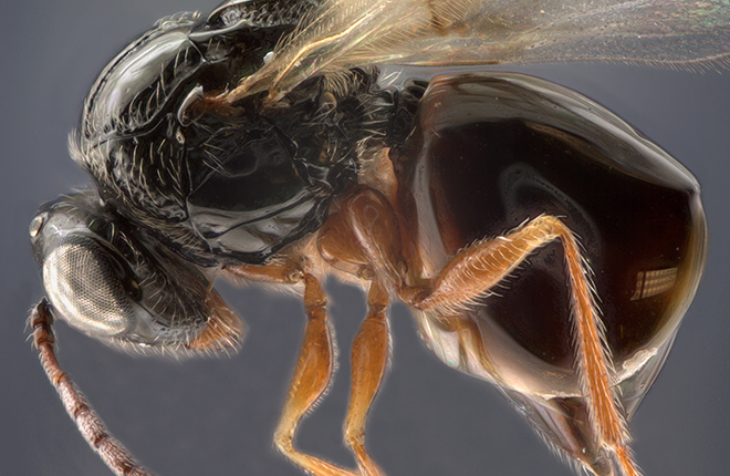 Microscopic image, approximately 60x magnification, of a wasp species of Afrostilba.