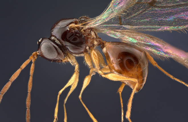Microscopic image, approximately 60x magnification, of a wasp species of Leptopilina.