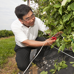 Horticulturist ties blackberry canes to training wire.