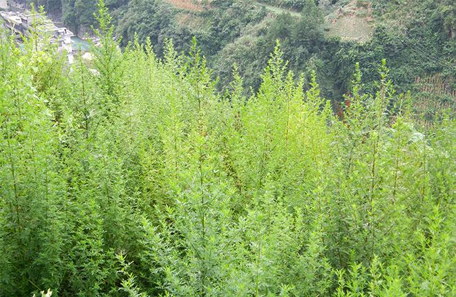 A wild population of Artemisia annua.