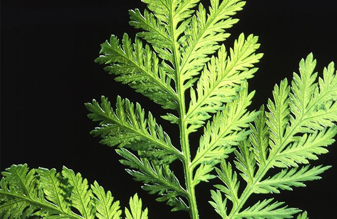 Artemisia annua.