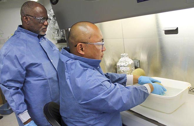 Two scientists wash a cantaloupe using new sanitizing wash.