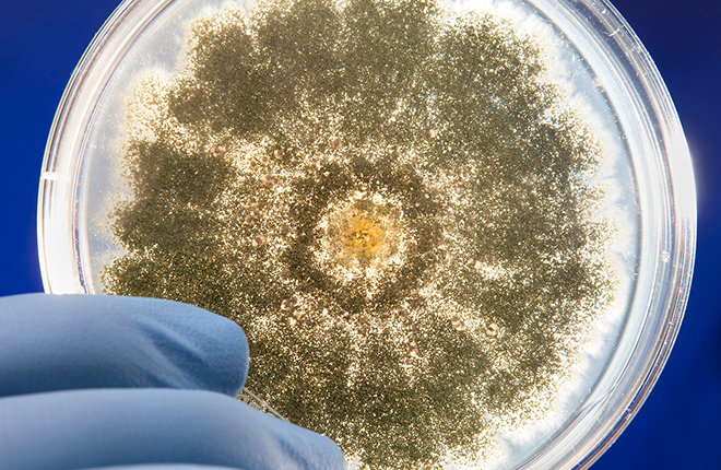 Aspergillus flavus growing in a petri dish.