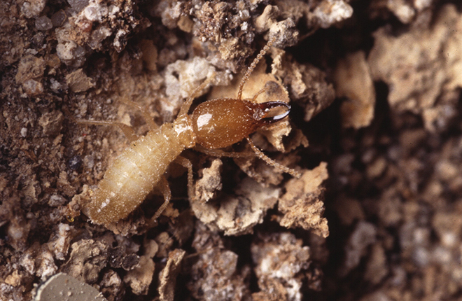 Formosan subterranean termite soldier.