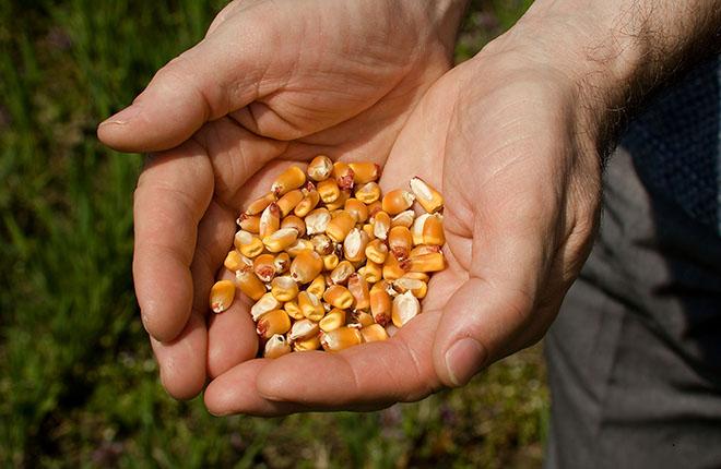 Corn kernels.