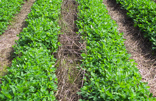 Peanut crop planted in strip tillage.