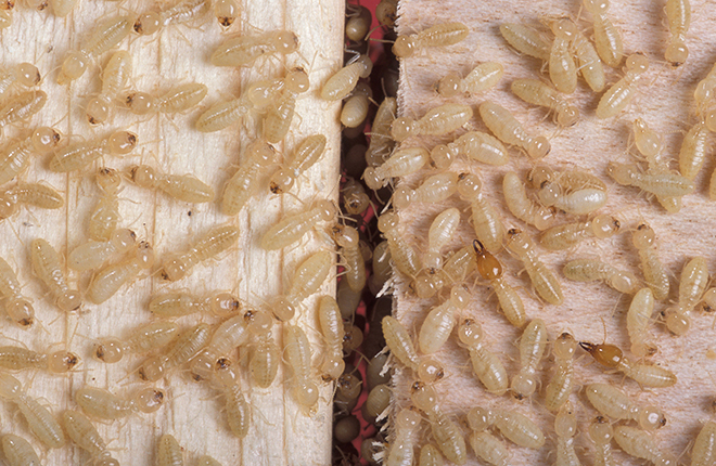 Termites on spruce and birch wood blocks.