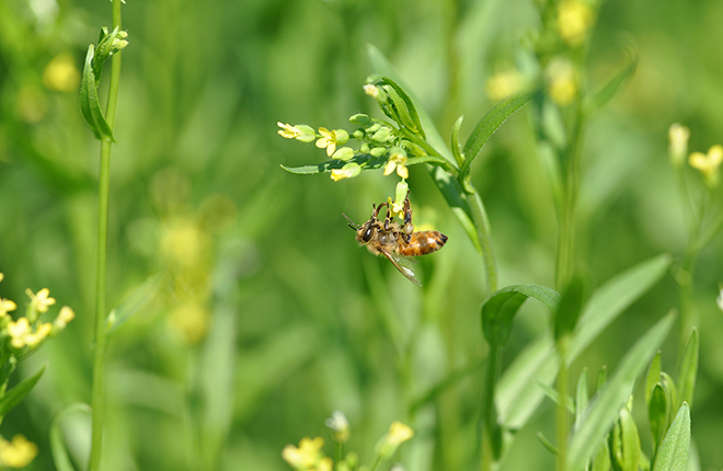 Honey bee on camelina flower.