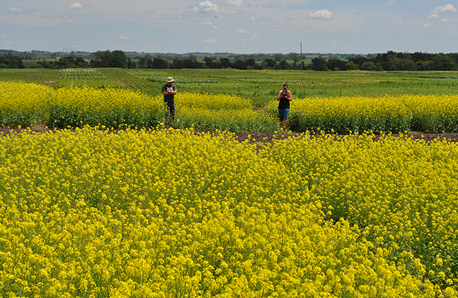 Field of flowering canola.