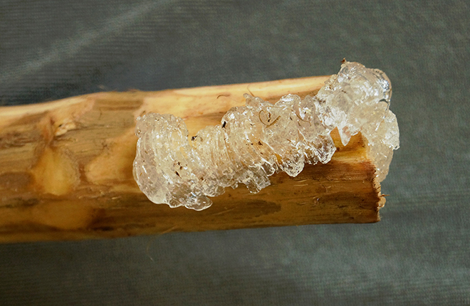 Sap on a frost grape stem.