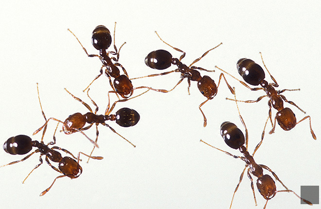 Close-up of tropical fire ants.