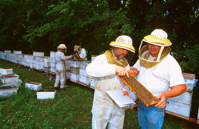 Beekeepers inspecting honey comb.