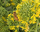 Honey bee on rapini flowers.