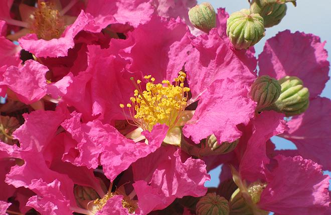 Pink crape myrtle flowers.