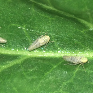 Beet leafhopper on a leaf