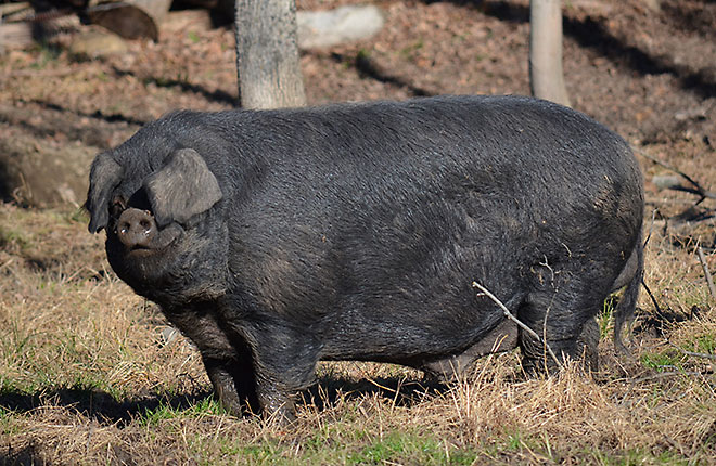 A Large Black boar