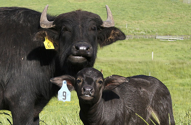 Italian water buffalo adult and calf