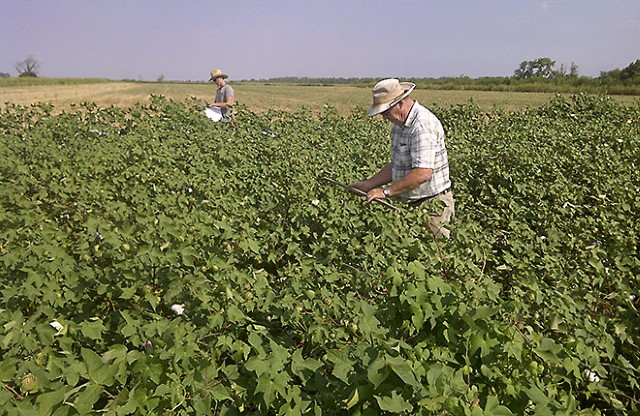 Technicians in a cotton field recording plant growth