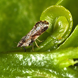 Asian citrus psyllid on leaf