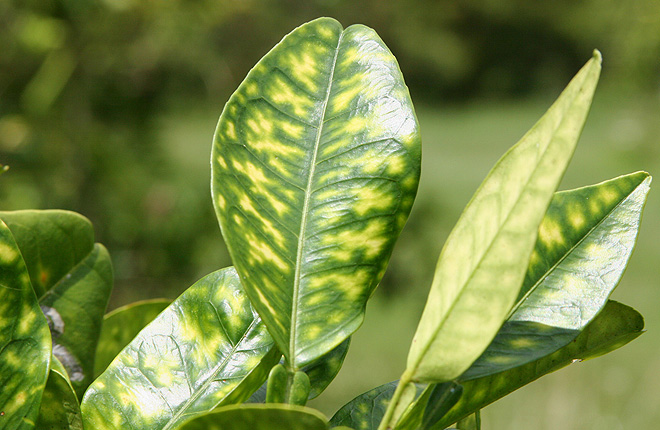 Leaves with yellow spots from citrus greening disease