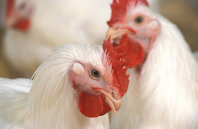 Light plays a crucial role in the health and well-being of chickens. (Stephen Ausmus K10003-17) & USDA ARS Online Magazine Lighting is Key in Poultry Health azcodes.com